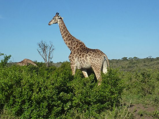 Zululand, Güney Afrika: Giraffe