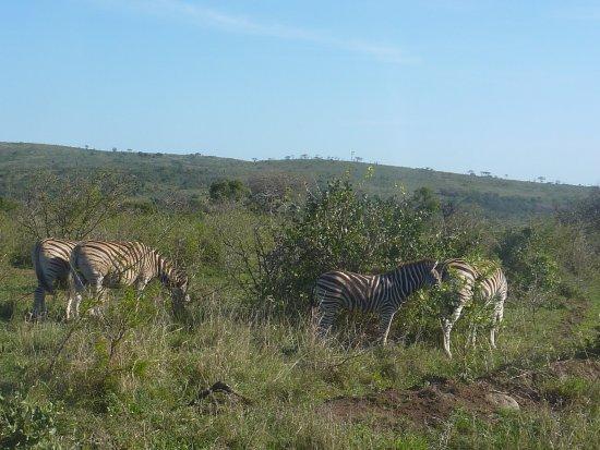 Zululand, Güney Afrika: Zebra