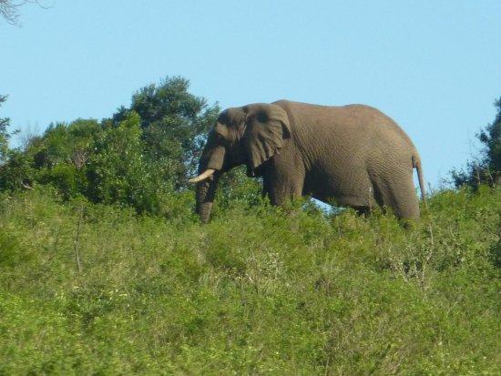 Zululand, Güney Afrika: Elephant