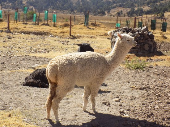 Sicuani, Peru: Alpacas in the courtyard of the restaurant: just an attraction for tourists?