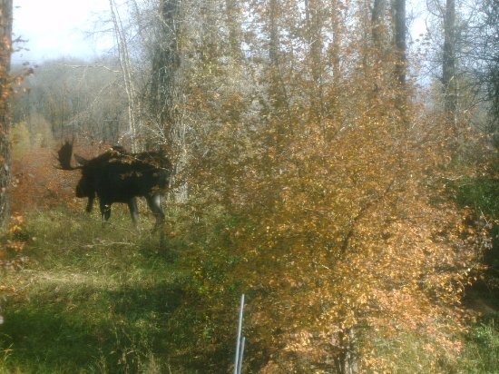 Wilson, Ουαϊόμινγκ: The neighbors are quiet, but a little nosy.. a bull moose in our backyard