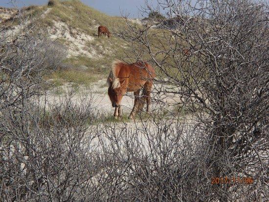 Beaufort, Carolina del Nord: Beautiful healthy horses