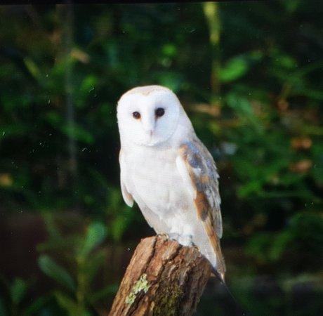 Haverfordwest, UK: Barn owl