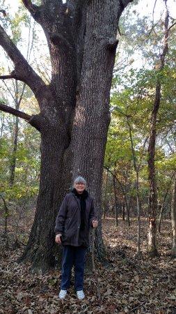 Davidsonville Historic State Park: Largest oak tree we saw on the trails we walked on.