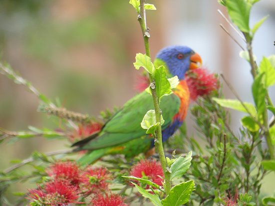 Malanda, Australia: Rainbow Lorrikeet - one of the many species of birds that visit.