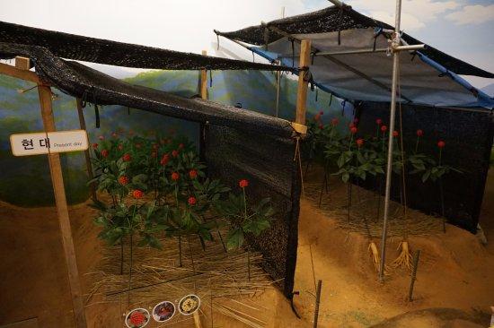 Geumsan-gun, South Korea: 인삼을 재배하는 방법을 시대별로 공부할 수 있습니다^^