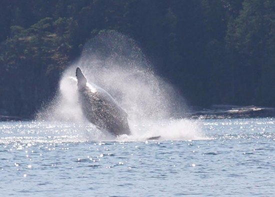 Campbell River, Canadá: Humpback whale! :)