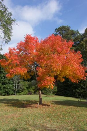 Smith Gilbert Gardens: Chinese Pistache tree in full autumnal glory!