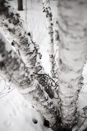 Falcon Lake, Canada: A stand of birch trees (Photo by Emily Christie)