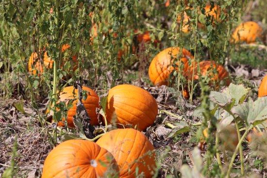 Lapeer, MI: A glimpse of our pumpkin patch