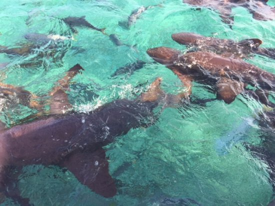 Chuck and Robbie's: Nurse sharks and other fish