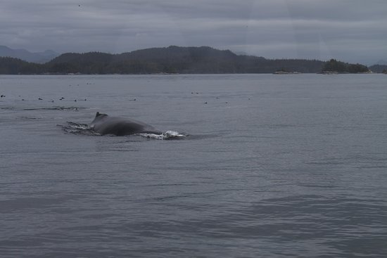 Port McNeill, Canada: Another Humback Whale