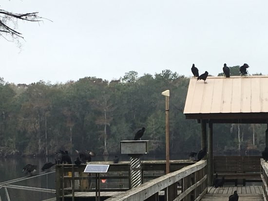 Chiefland, FL: Dock Vultures