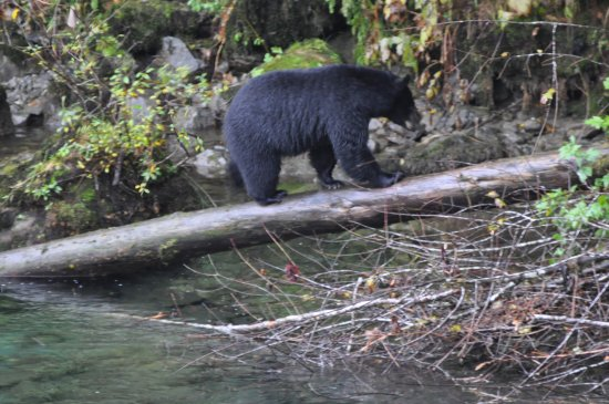 Tahsis, Canada: our Bears