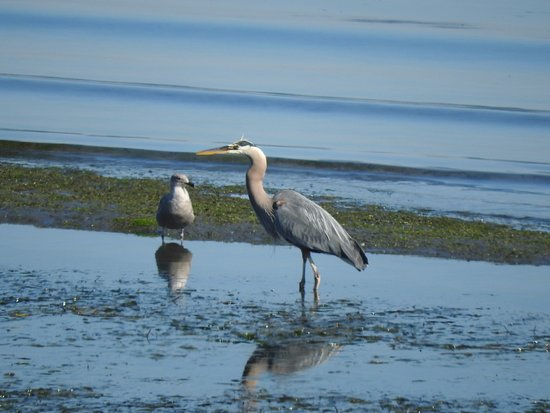 Semiahmoo Resort : great blue heron feeding in low tide