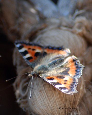 Chelmsford, UK: butterfly
