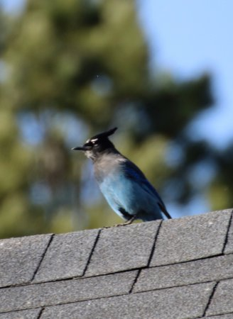 Central City, CO: Beautiful Stellar's Jay on the grounds of the B&B :)