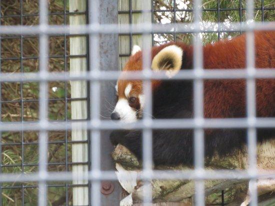 NEW Zoo & Adventure Park: Red Panda