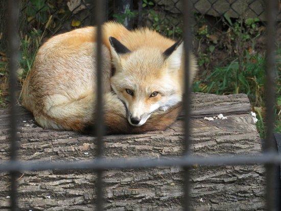 NEW Zoo & Adventure Park: Red Fox