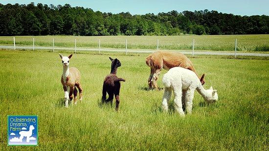 Outstanding Dreams Farm: Outstanding Dreams Alpaca Farm is located in Caroline County, MD.