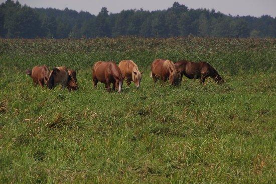 Podlaskie Province, Poland: Animals show limited interest of visitors.