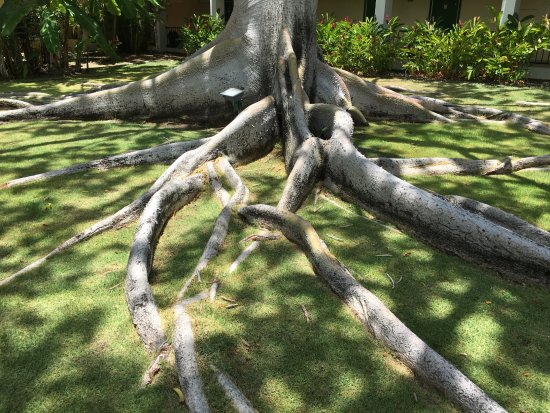 Copamarina Beach Resort & Spa: Trees with the most unbelievable roots like an octopus