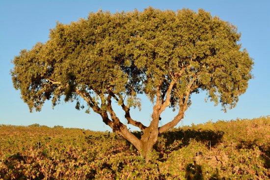 Herdade do Sobroso : Oak
