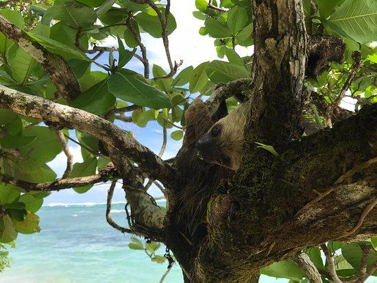 Isla Bastimentos, Panama: Sloth just along the beach from Casa Cayuco