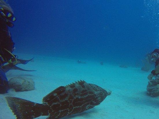 جزيرة بروفيدانس الجديدة: Large grouper selecting his spot for the shark feeding