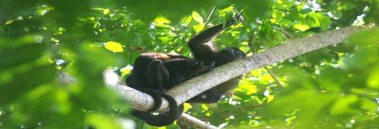 La Chosa del Manglar Nature Resort: Mono Congo