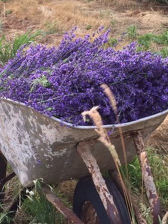 Placerville, Californien: Lavender harvested at Rucksack Cellars