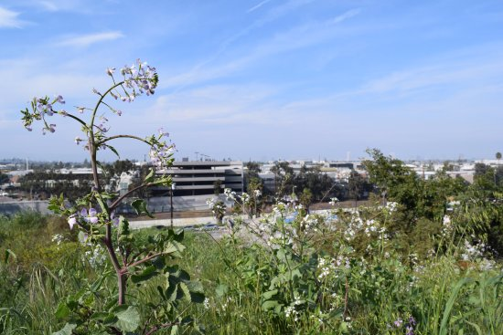 Culver City, CA: In the spring it is gorgeous!
