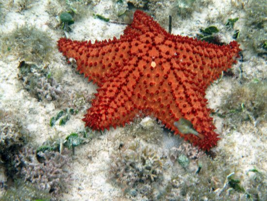 Malmok Beach - Starfish