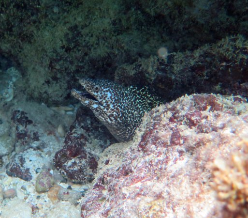 Malmok Beach - Spotted Moray Eel