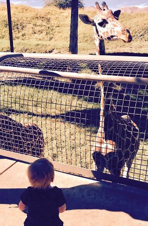 Living Desert Zoo & Gardens : 1 of about 8 very friendly giraffes