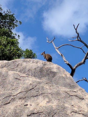 Magnetic Island, Avustralya: Allied Rock Wallaby