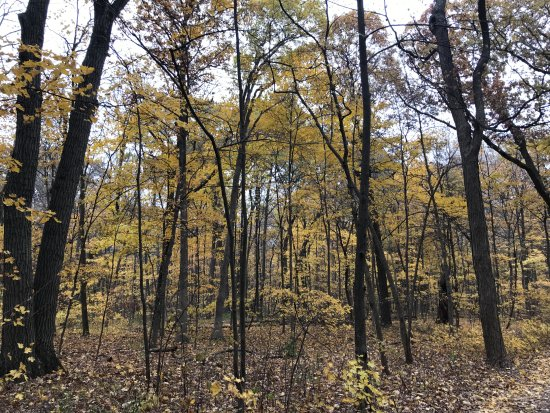 Lisle, IL: Sugar maples were the main Fall color left today