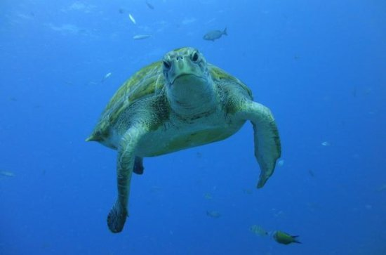 Guided Snorkeling with Turtles by