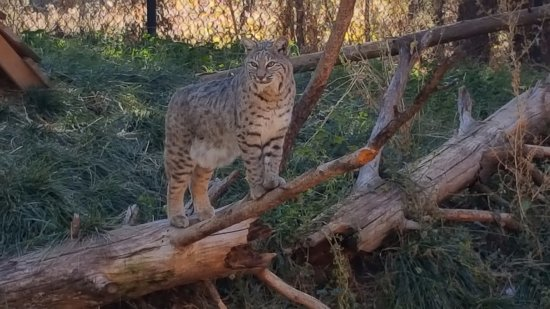 Williams, AZ: Bobcats