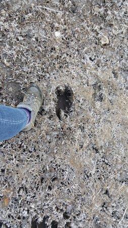 Springfield, ME: Moose tracks!