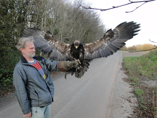 Haverfordwest, UK: Vogue the Steppe Eagle is a handfull.
