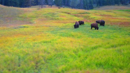 Wapiti, WY: Small portion of bison herd