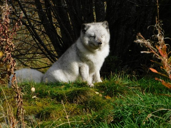 Kingussie, UK: snow fox