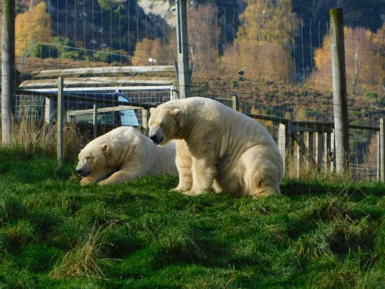 Kingussie, UK: polar bears