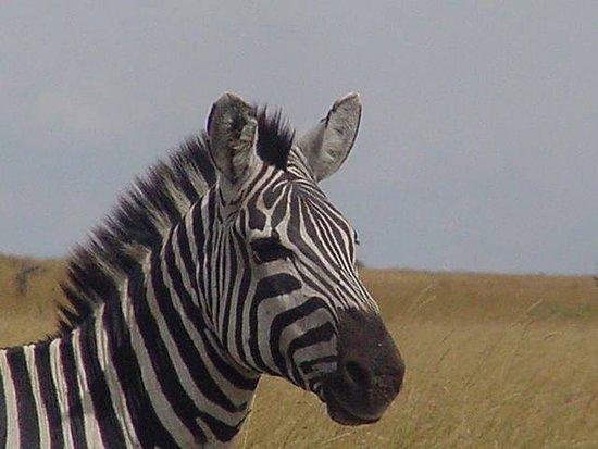 Africa Unadorned Safaris: Zebra in Mara.