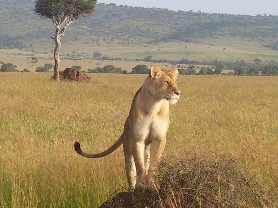 Africa Unadorned Safaris: Lioness in Mara.