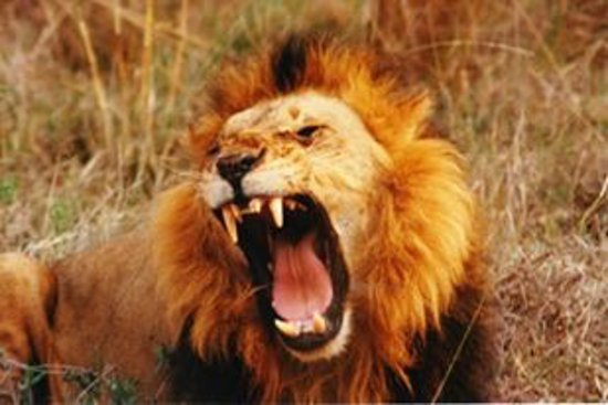 Africa Unadorned Safaris: Male lion..not too happy.