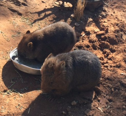 Uncle Nev's Trail Rides: Wombats