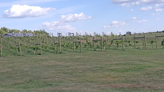 Round Lake, MN: Lots of grapes grown on site
