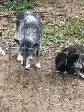 Wolf Sanctuary of PA : photo6.jpg